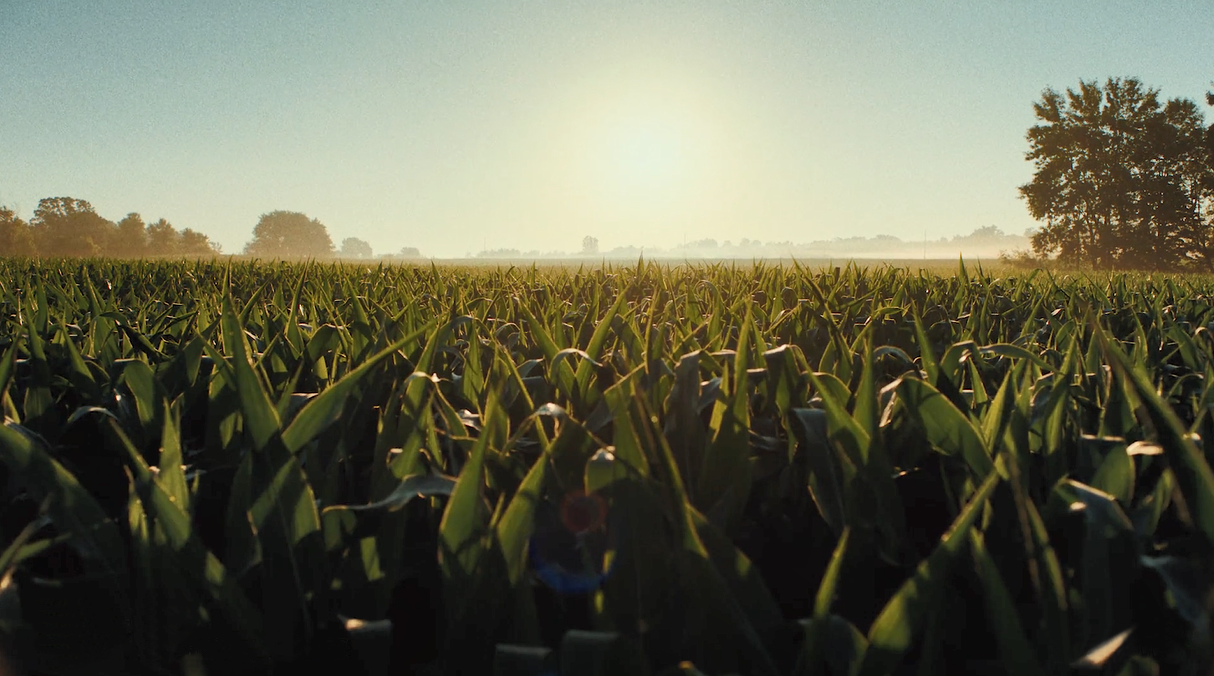 Wide view of a cornfield with the summer sun setting on the horizon